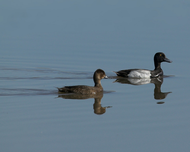 Lesser Scaup in Red Rock Lakes National Wildlife Refuge. June 2007