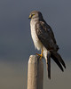 Northern Harrier Hawk in Red Rock Lakes National Wildlife Refuge. July 29, 2010.