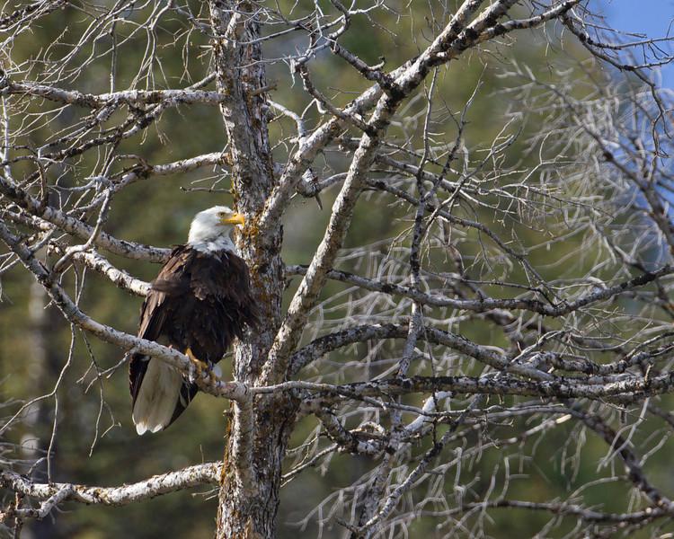 Bald Eagle at Culver Pond, Red Rock Lakes National Wildlife Refuge. Aug 21, 2010.
