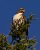 Red-tailed Juvenile hawk (Buteo Jamaicensis) along Red Rock road in Red Rock Lakes National Wildlife Refuge. Aug 4, 2010.