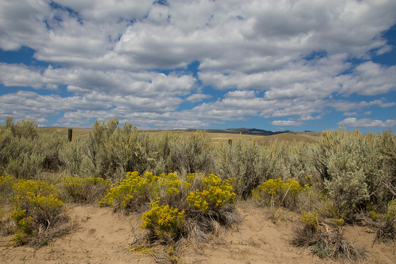 Rabbit Brush, Sand Dunes and Sky