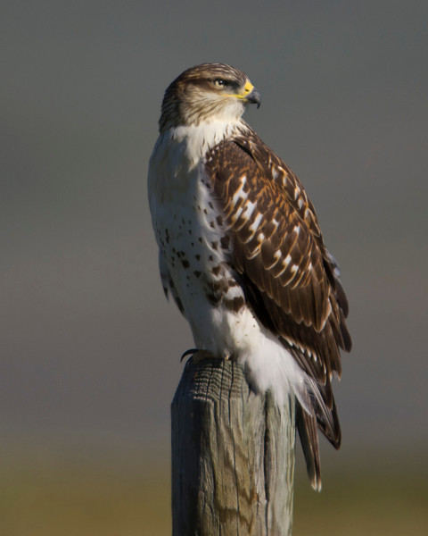 Ferruginous hawk (Buteo regalis) along North Valley road in Red Rock Lakes National Wildlife Refuge. July 23,2011.
