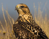 Headshot of a Swainson's Hawk (Buteo swainsoni) along Elk Creek Road in Red Rock Lakes National Wildife Refuge, Aug 18, 2012.