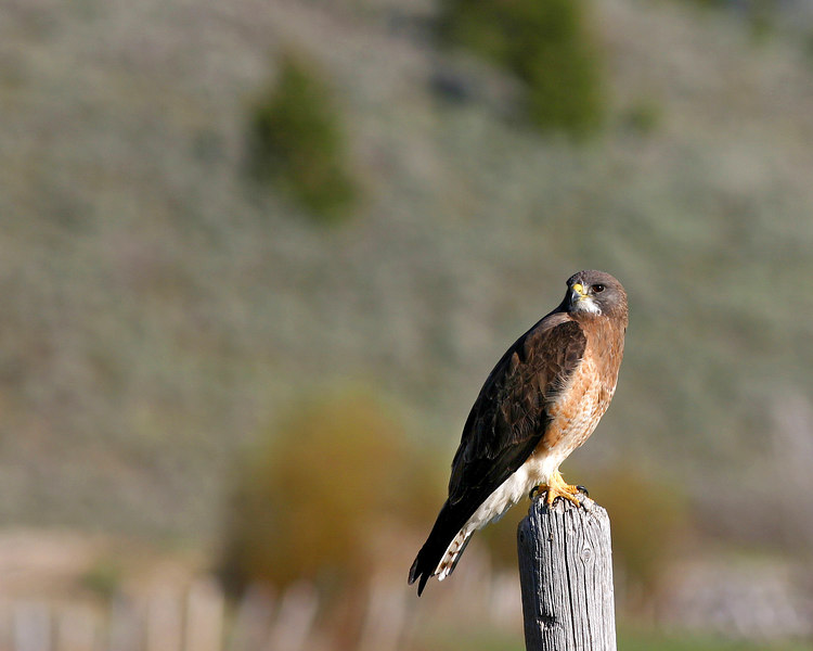 Swainson's Hawk in Red Rock Lakes Refuge Jun 2003