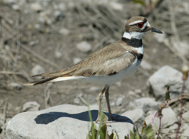 Killdeer in Red Rock Lakes Wildlife Refuge, Summer 2006.