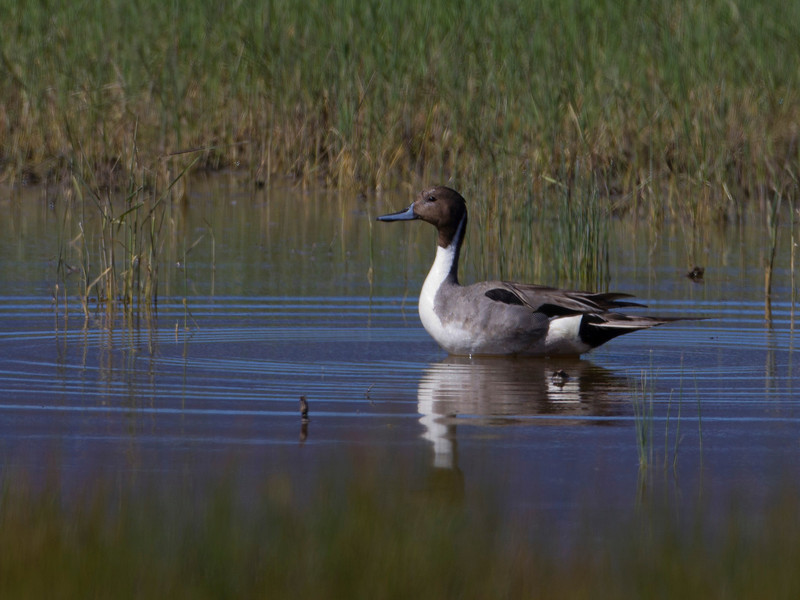 Northern Pintail (Anas acuta) duck (male)  in a shallow pond next to the Lower Red Rock Dam in Red Rock Lakes National Wildlife Refuge. June 28, 2010.
