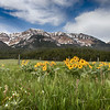 Arrowleaf Balsamroot Wildflowers and Mt. Taylor