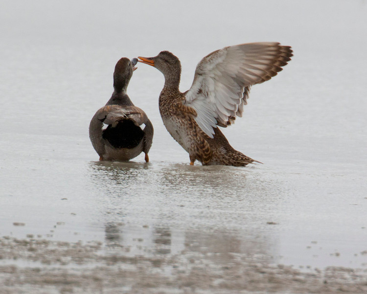 Gadwalls Mating