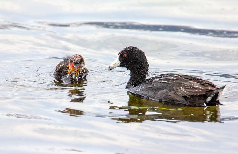 Coot and cick on Widgeon Pond RRLNWR