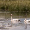 Cygnets with adult Trumpeter Swans