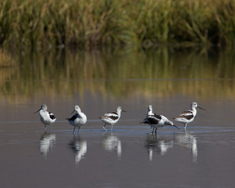 American Avocets (Recurvirostra americana) in Lower Red Rock Lake, Montana. These are in their non-breeding plumage.