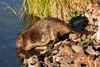 Beaver at Widgeon Pond in Red Rock Lakes National Wildlife Refuge. Sep 9, 2013