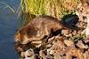 Beaver at Widgeon Pond in Red Rock Lakes National Wildlife Refuge. Sep 9, 2013
