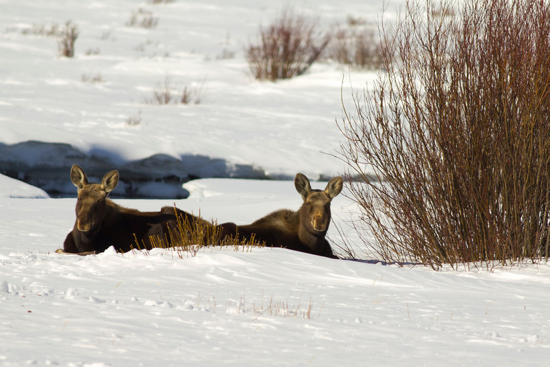 Two moose yearlings lie in the snow along Elk Springs Creek in Red Rock Lakes National Wildlife Refuge in mid-February. Montana