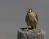Kestrel resting on a post in Red Rock Lakes National Wildlife Refuge. August 18, 2010