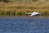 Trumpeter Swan flying low over Culver Pond in Red Rock Lakes National Wildlife Refuge. Sept 19, 2010.