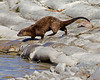 American Otter on Lower Red Rock Lake dam in Red Rock Lakes National Wildlife Refuge. Sep 2010