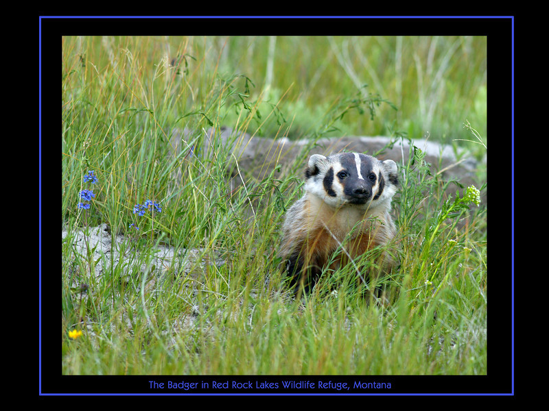 Badger in Rock Rock Lakes Wildlife Refuge
