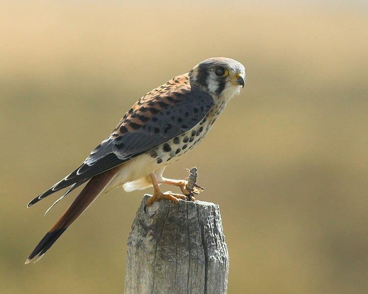 The American Kestrel, the smallest falcon, prepares to dine on a grasshopper snack at Red Rock Lakes National Wildlife Refuge in Montana. Sep 2007