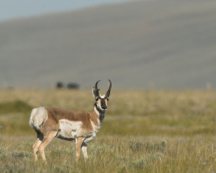 Male Pronghorn in Red Rock Lakes Wildlife Refuge, June 2007