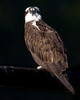 Osprey in Red Rock Lakes National Wildlife Refuge Aug 26, 2008