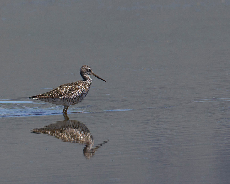 Lesser Yellowlegs (Tringa flavipes) in Lower Red Rock Lake, Centennial Valley, Montana. July 2010