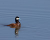 Ruddy Duck on Widgeon Pond.
