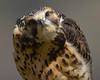 Swainson's Hawk Curious