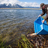 Bill West, Refuge Manager releases a Cutthroat Trout into Widgeon Pond as part of a program to move them from Red Rock Lakes and Red Rock Creek trying to replenish those areas with Arctic Grayling. May 24, 2013 Red Rock Lakes National Wildlife Refuge, Montana.