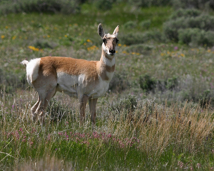Pronghorn in Red Rock National Wildlife Refuge, Montana. June 15, 2008.