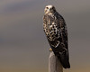 Juvenile Swainson's hawk in Red Rock Lakes Nat'l Wildlife Refuge. Aug 18, 2011.