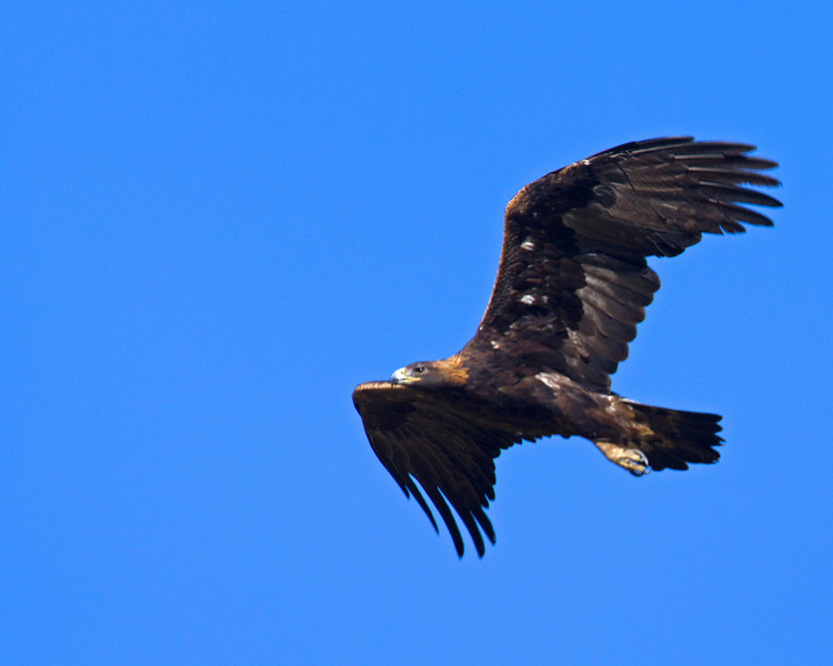 Golden Eagle (Aquila chrysaetos) over Culver Pond at Red Rock Lakes National Wildlife Refuge. Aug 2, 2010.