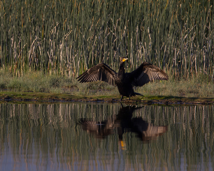Cormorant at Widgeon Pond, Red Rock Lakes National Wildlife Refuge, Montana. August 21, 2013