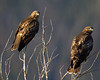 Red-tailed Hawks along Red Rock Road in Idaho. August 7, 2011.