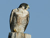 Tundra Peregrine Falcon (Falco peregrinus)in Red Rock Lakes National Wildlife Refuge, Montana. August 2006.