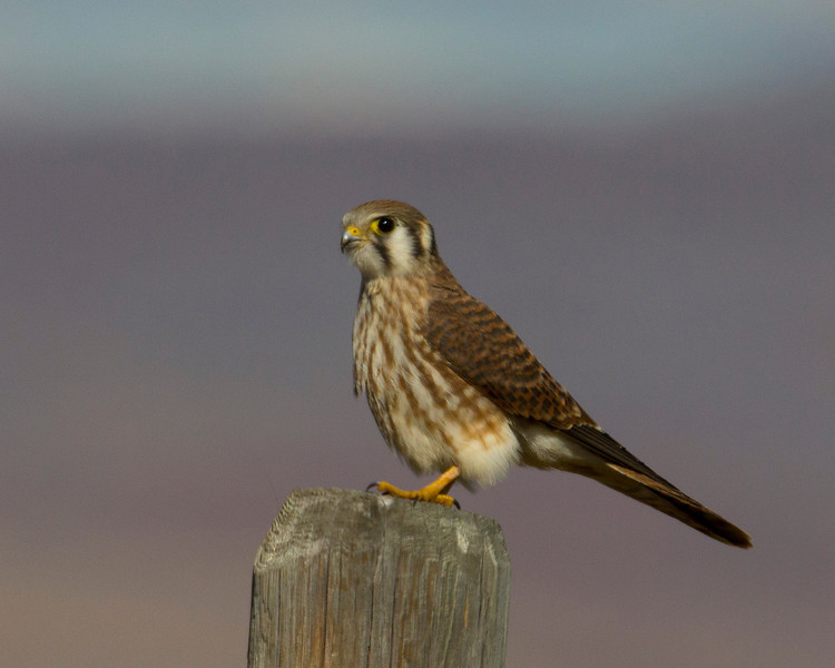Kestrel hawk sitting on post in Red Rock Lakes National Wildlife Refuge. Sep 2013
