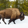 Bison on road, Yellowstone snow