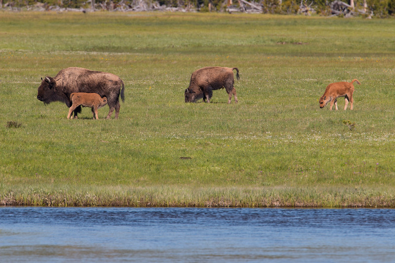 Feeding time, young Bison