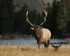Bull Elk along Madison River in Yellowstone. Sep 23, 2010.