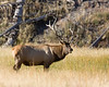 Mature Male Elk along Madison River in Yellowstone National Park. Sep 15, 2008