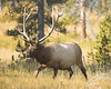 Bull Elk in Yellowstone's Elk Park, readying for the rut August 27, 2007.