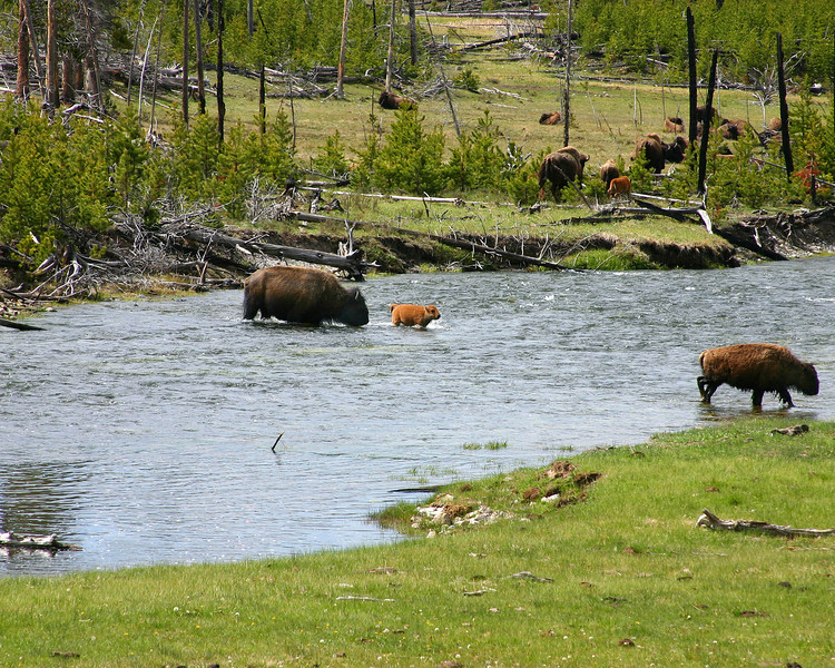 Yellowstone Buffalo helping baby across creek.