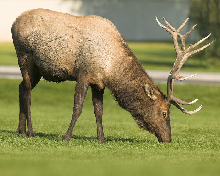 This Bull Elk likes the nice grass in Mammoth in Yellowstone National Park. Don't get too close. Wyoming Sep 2007