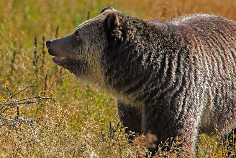 Grizzly Bear in Yellowstone National Park. Sep 16, 2013.