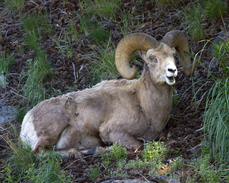 Rocky Mountain Big Horn Sheep (Ram) resting on the entrance to Lamar Valley in Yellowstone National Park. June 2009