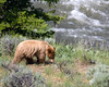 Young Grizzly Bear in Yellowstone, July 2, 2008. Gardiner River in the background.