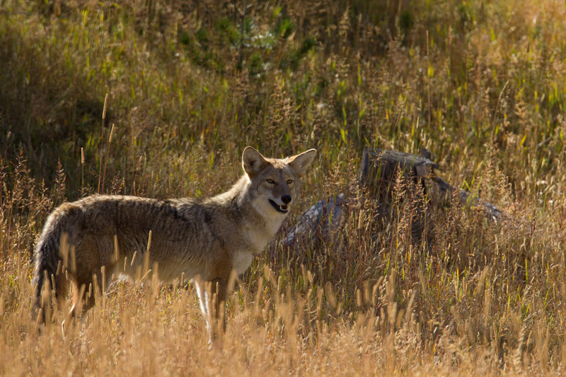 Coyote in Yellowstone National Park. Sep 23, 2010
