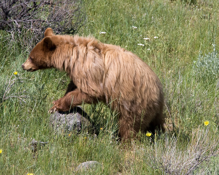 Young Grizzly Bear in Yellowstone, July 2, 2008.