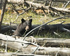 Black Bear in Yellowstone eating a deer or elk carcass. Sep 2007