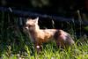 Fox in Cooke City, Montana. June 2012